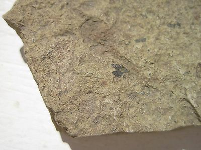 Unidentified Fossil Ophiuroid, Eocene, California