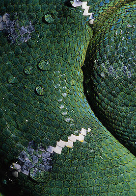 Art print POSTER Scales of an Emerald Tree Boa