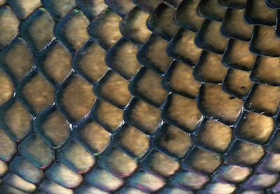 Art print POSTER Close-Up of an Amethystine Python's Scales