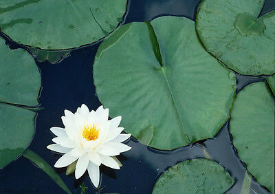 Art print POSTER / CANVAS Water Lilly Pads and Blooms on Pond