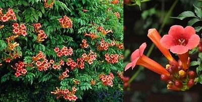 Trumpet vine FLAMENCO - approx. 50 cm tall seedling- in the pot