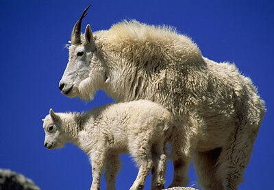 Art print POSTER Mountain Goat with Kid