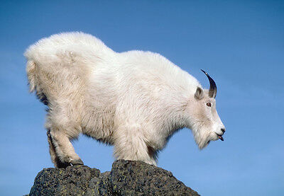Art print POSTER Rocky Mountain Goat at the Top of the Mountain