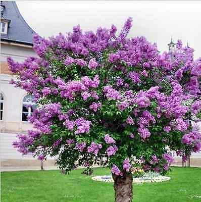 Lilac Tree Seeds Rare Unusual Stunning Perennial Hardy Fragrant Garden Plant