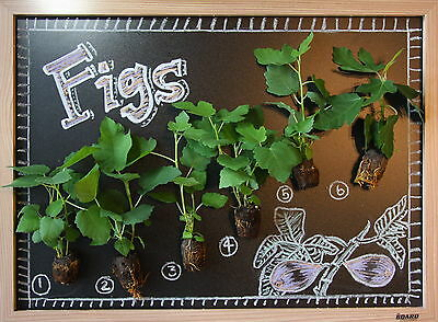FIG TREE COLLECTION: LSU Purple, Beer's Black (NEW!), GE Neri (NEW!), Etc.
