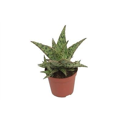 Aloe 'Pink Panther' Succulent Plant in a 10.5cm Pot