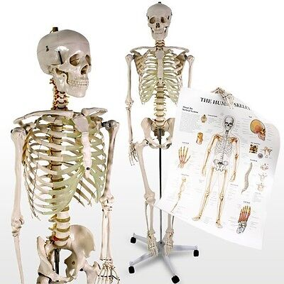Human Anatomical Skeleton Large Model Stand and Poster Medical Aid Anatomy Class