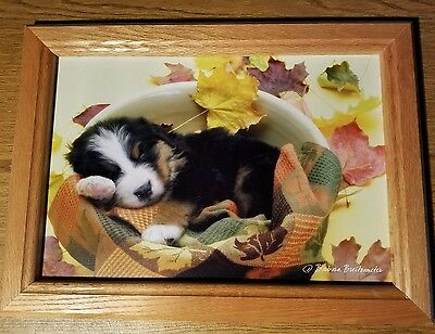 Bernese Mountain Dog Puppy Framed Professional Photograph