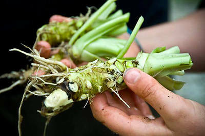 200PCS Wasabi Seeds Japanese Horseradish Seed Vegetable + Delivery