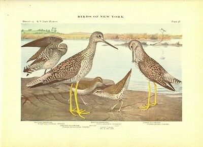 Rare 1916 Antique Bird Print ~ Sandpiper #4 ~ Excellent Details