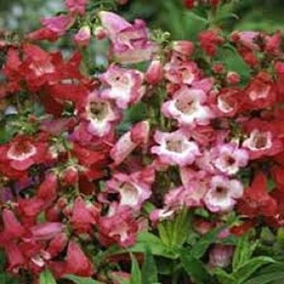 50+ Scarlet Penstemon Harwegii Sensation Mix Flower Seeds / Perennial