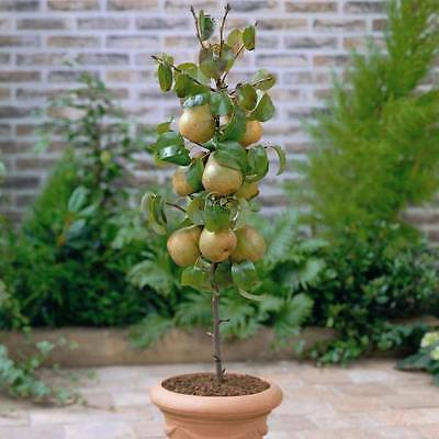"Columnar pear tree ""Conference""- 90 cm tall seedling"