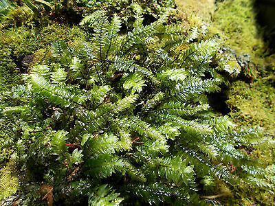 Deluxe Terrarium Pack! The Very Best Moss, Forest Plants & Ferns##