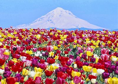 AD817 Photo Picture Poster Print Art A0 to A4 NATURE POSTER TULIP FIELD
