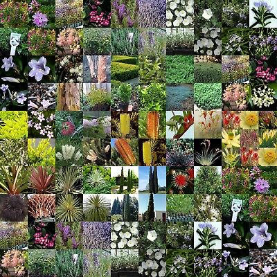 100 Mix Australian Native Plants $1.50 Each RANDOM Pack Garden Nursery In Pots
