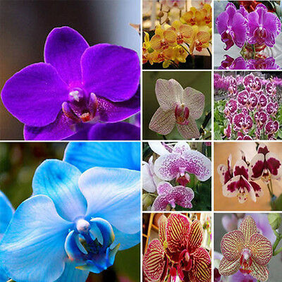 Mix Color Garden Phalaenopsis Flower Seeds Bonsai Plant Butterfly Orchid 20 Same