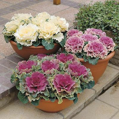 Ornamental Cabbage 'Northern Lights' Plants x 3.  Mixed Colours