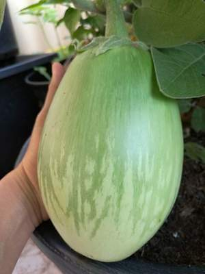 Giant Round Eggplant Seed Thai Native seed Sweet Vegetable Eat Raw or Cook
