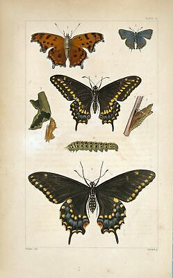 2 x 19th Century Natural History Prints Butterflies Insects Pictures