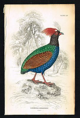 CROWNED CRYPTONIX, GAME BIRDS - 1834 Hand-Colored Antique Print - Jardine