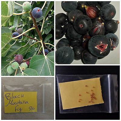 Black Madeira Fig Tree Seeds ~20 Top Quality Seeds - Portuguese Black Variety