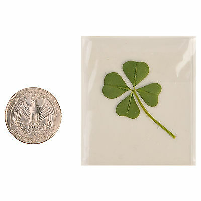 Real 4 Four-Leaf Clover Pressed Flower Stuff DIY Crafts Handmade Art Materials M
