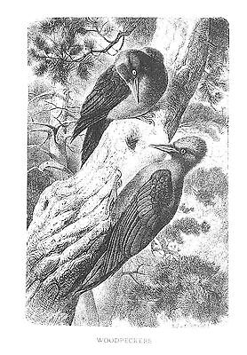 1885 WOODPECKERS J.G.Wood/NICE BW Antiquarian BIRD PRINT L@@K!