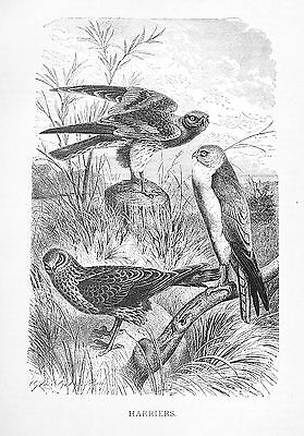 1885 HARRIERS/Falcons/Hawks J.G.Wood/NICE BW Antiquarian BIRD PRINT L@@K!