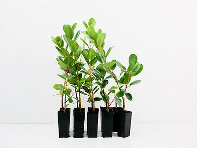 Ficus microcarpa Green Island -  10 Plants Evergreen Native Shrub Hedge 1m high
