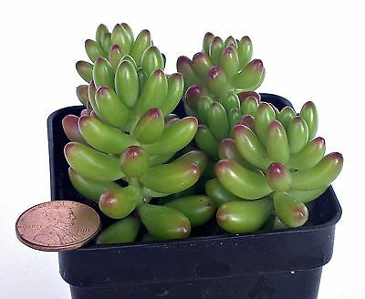 how to grow jelly bean succulent
