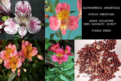 Alstroemeria Aurantiaca 10/20 Semi - Giglio Peruviano Mixed Colors Viable 2017