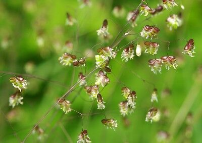 SAFLAX  - Quaking Grass - Briza - 75 seeds