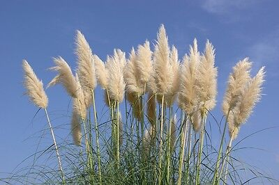 SAFLAX  - American Pampas Grass - Cortaderia - 200 seeds