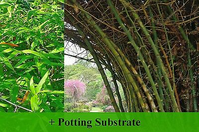 SAFLAX  - Great Thorny Bamboo - Dendrocalamus - 50 seeds - With soil