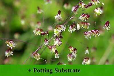 SAFLAX  - Quaking Grass - Briza - 75 seeds - With soil