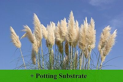 SAFLAX  - American Pampas Grass - Cortaderia - 200 seeds - With soil