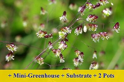 SAFLAX Cultivation Set - Quaking Grass - Briza - 75 seeds