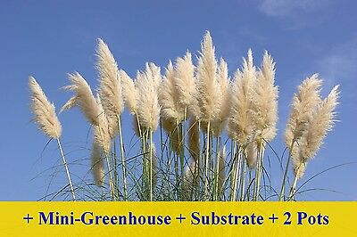 SAFLAX Cultivation Set - American Pampas Grass - Cortaderia - 200 seeds