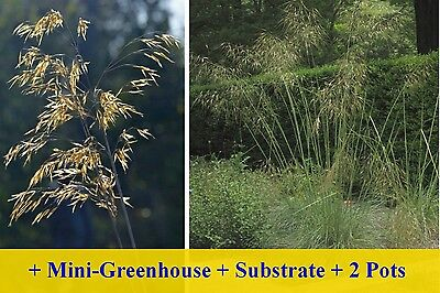 SAFLAX Cultivation Set - Giant Feather Grass - Stipa - 10 seeds