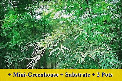 SAFLAX Cultivation Set - Moso Bamboo - Phyllostachys - 20 seeds