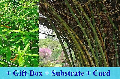 SAFLAX Gift Set - Great Thorny Bamboo - Dendrocalamus - 50 seeds