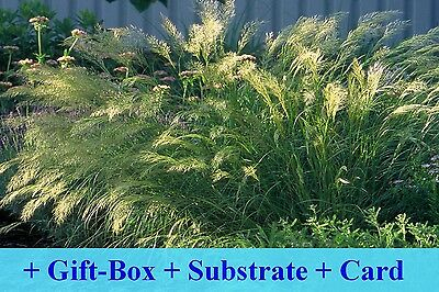 SAFLAX Gift Set - Feather Grass / Pheasant's Tail Grass - Stipa - 50 seeds