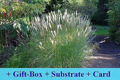 SAFLAX Gift Set - Chinese Silver Grass - Miscanthus - 200 seeds