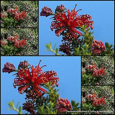 8 Grevillea juniperina prostrate Red Hardy Groundcover Australian Native Plants