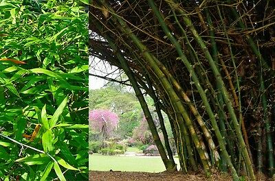 SAFLAX  - Great Thorny Bamboo - Dendrocalamus - 50 seeds