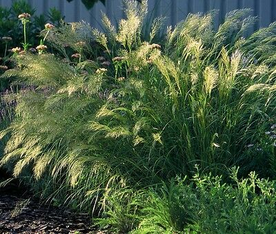 SAFLAX  - Feather Grass / Pheasant's Tail Grass - Stipa - 50 seeds
