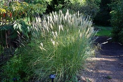 SAFLAX  - Chinese Silver Grass - Miscanthus - 200 seeds
