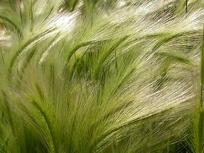 SAFLAX  - Foxtail Barley / Squirrel Tail - Hordeum - 70 seeds