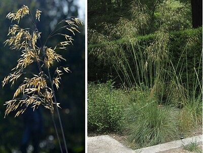 SAFLAX  - Giant Feather Grass - Stipa - 10 seeds