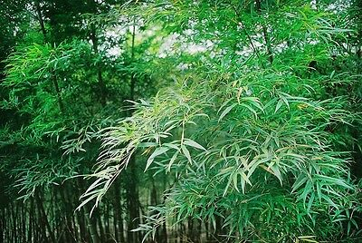 SAFLAX  - Moso Bamboo - Phyllostachys - 20 seeds